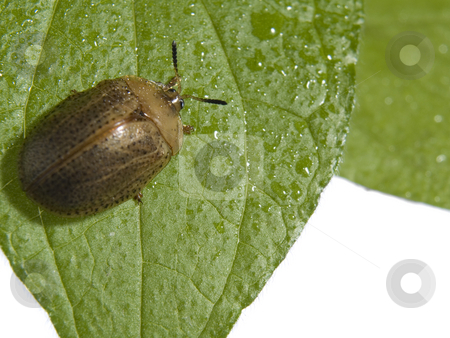 Bug on a plant stock photo, Bug on green leaf over white background. by Ignacio Gonzalez Prado