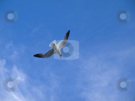 Seabird stock photo, Seabird flying with widespread wings against blue sky. by Ignacio Gonzalez Prado