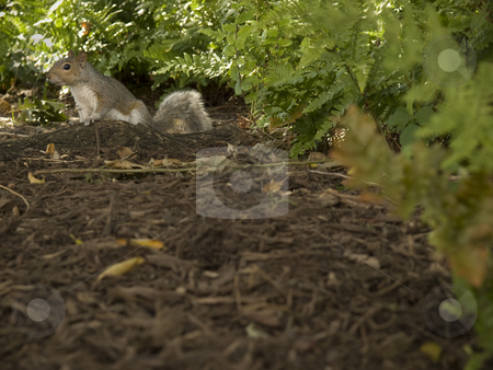 Grey squirrel stock photo, A grey squirrel in a city park. by Ignacio Gonzalez Prado
