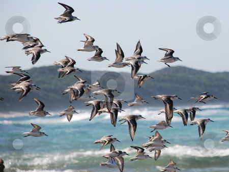 SeaBirds stock photo, Birds captured flying over sodwana beach in midflight by Andre Diedericks