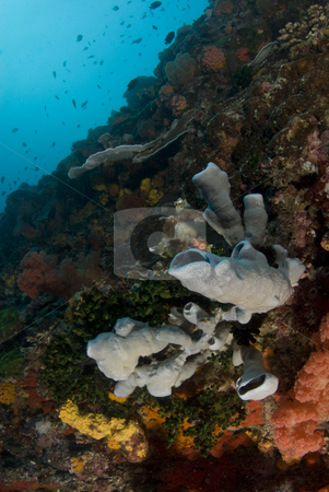 Philippine Sea Wall stock photo, The colorful reef of coral and sponges making a wall in the ocean in the South China Sea by A Cotton Photo