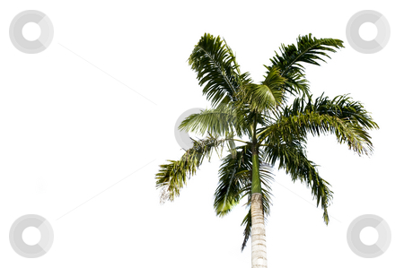 Philippino palm tree Isolated stock photo, Filipino palm tree isolated on a white background by A Cotton Photo