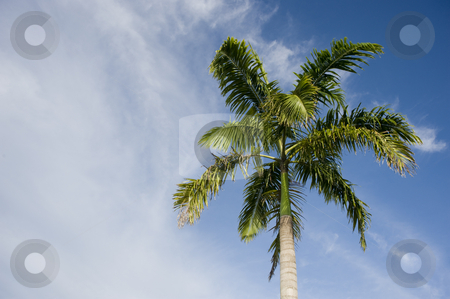 Philippino palm tree stock photo, Filipino palm tree against a blue sky with clouds by A Cotton Photo