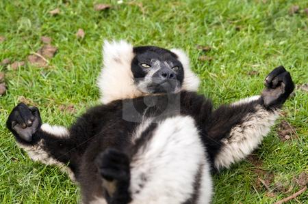 Black and White Ruffed Lemur stock photo, Close up of Black and White Ruffed Lemur(Varecia varigata varigata) by Stephen Meese