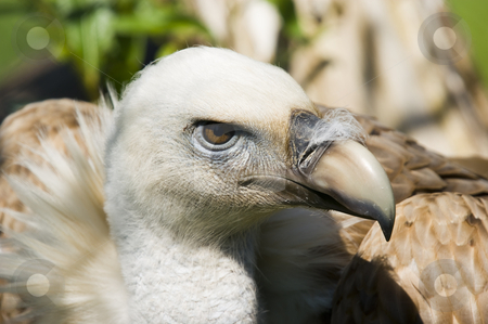 European Black Vulture stock photo, Close up of a European Black Vulture (Aegypius monachus) by Stephen Meese