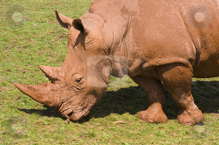 White Rhinoceros stock photo, Closeup of White Rhinoceros (Ceratotherium simum simum) by Stephen Meese