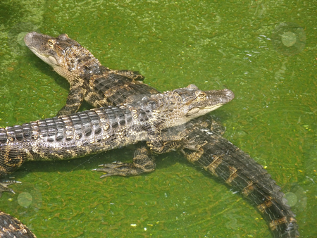Two Alligators stock photo, Two Alligators sitting in water in Florida. by Lucy Clark