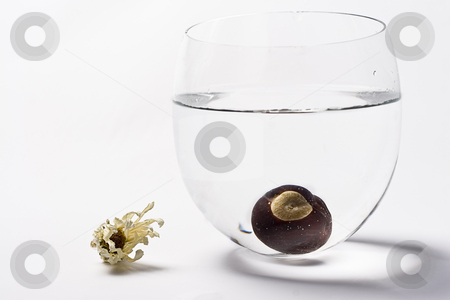 One sunk nut stock photo, One chestnut sunk at the bottom of a glass of water with a dried flower on the side by Yann Poirier