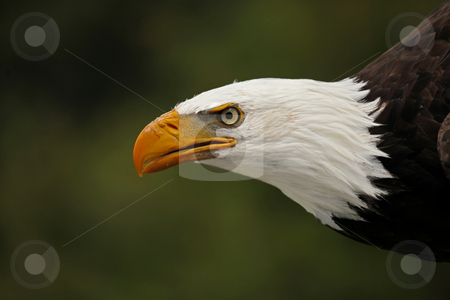 Proud Predator stock photo, Closeup of a Bald Eagle about to fly after it's prey. by Megan Lorenz