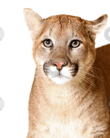 A Cat By Many Names stock photo, Studio portrait of an adult Mountain Lion isolated on a white background. by Megan Lorenz