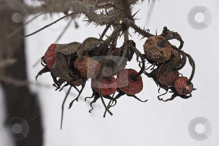 Dry red berry stock photo, Dry red berry still hanging from a spiked branch by Yann Poirier