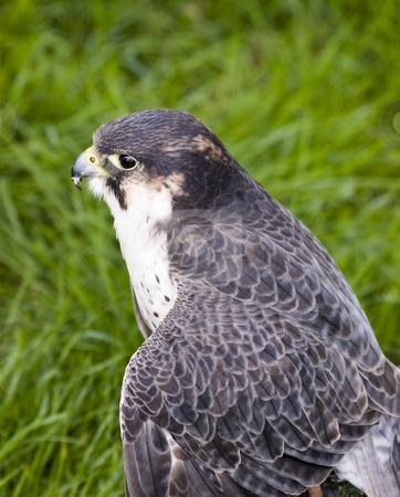 Peregrine Falcon stock photo, Close up of Peregrine Falcon (Falco peregrinus) by Stephen Meese