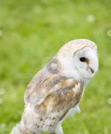 Barn Owl stock photo, Close up of Barn Owl (Tyto alba) by Stephen Meese