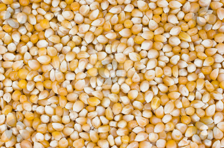 Popcorn Grain stock photo, Close up of popcorn grain by Stephen Meese