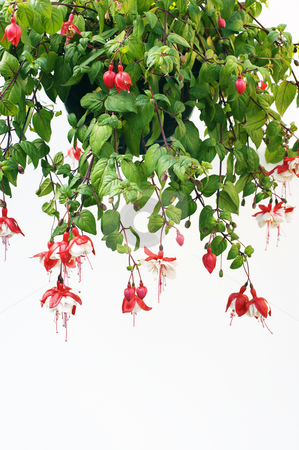 Fuchsia stock photo, Hanging basket of red and white Fuchsia plant by Stephen Meese