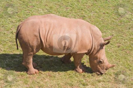 Baby White Rhinoceros stock photo, Closeup of baby White Rhinoceros (Ceratotherium simum simum) by Stephen Meese
