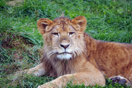 Young male lion stock photo, Closeup picture of a young male lion resting in the grass by Alain Turgeon