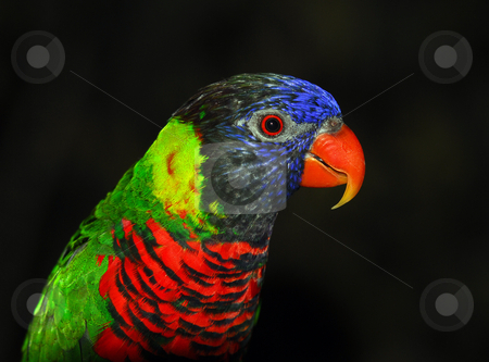 Rainbow Lorikeet stock photo, Closeup portrait of a colorful Rainbow Lorikeet by Alain Turgeon