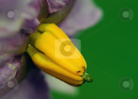 Potato plant flower stock photo, A macro picture of a flower from a potato plant by Alain Turgeon