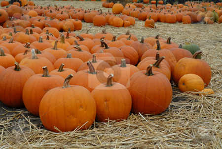 Pumpkins stock photo, Holiday pumpkins spread out for sale by Harris Shiffman