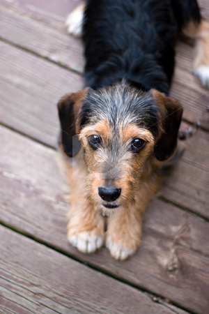 Cute Puppy Dog Laying Down stock photo, A cute mixed breed puppy laying on the deck. The dog is half beagle and half yorkshire terrier. Shallow depth of field. by Todd Arena