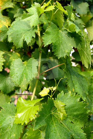 Vine leaves stock photo, Vine green leaves with water drops in vineyard background by Julija Sapic