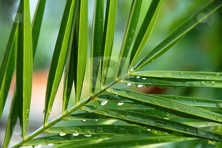 Palm with water drops stock photo, Palm green branch with water drops on leaves by Julija Sapic