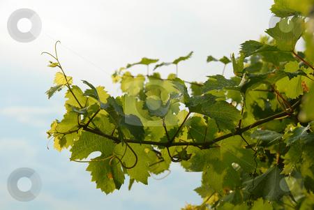 Vine leaves stock photo, Vine green branch in vineyard background by Julija Sapic