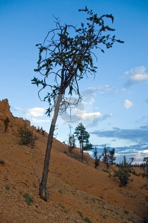 Bristlecone stock photo, A spindly bristlecone pine tree on a slope of reddish rock. by Andrew Orlemann