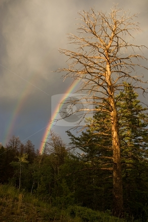 Snag with Rainbow stock photo, A dead forest tree with a rainbow behind it. by Andrew Orlemann