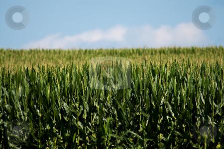 Corn Field stock photo,  by W. Paul Thomas