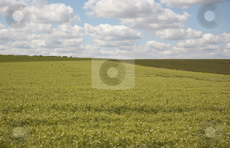Pea field with blue sky; stock photo, Pea field under summer sky by Mike Smith