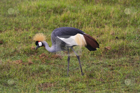 Crowned crane in kenya 2 stock photo, A cowned crane balearica regulorum gibbericeps in amboseli national park kenya by Mike Smith