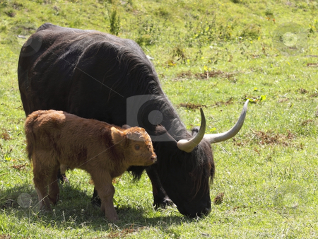 Highland calf and mother stock photo, Highland calf and mother in a meadow in summer by Mike Smith