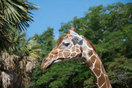 Giraffe eating stock photo, Giraffe reaching up for food. by Joseph Jenkins