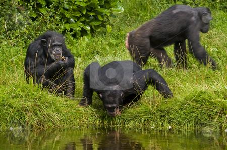 Chimpanzee stock photo, Close up of a Chimpanzee (pan troglodytes) by Stephen Meese