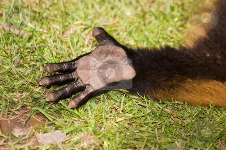 Red Ruffed Lemur stock photo, Close up of Red Ruffed Lemur (Varecia variegata rubra) hand by Stephen Meese