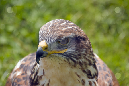 Harris Hawk stock photo, Close up of Harris Hawk (Parabuteo Unicintus) by Stephen Meese