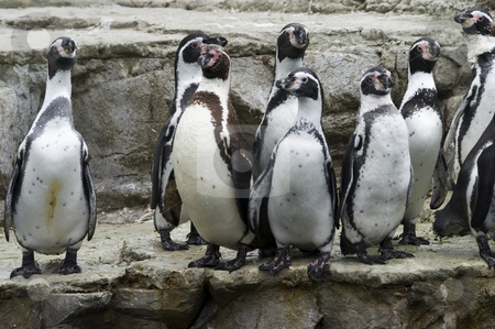 Humboldt Penguin stock photo, Closeup of a Humboldt Penguin (Spheniscus humboldti) by Stephen Meese