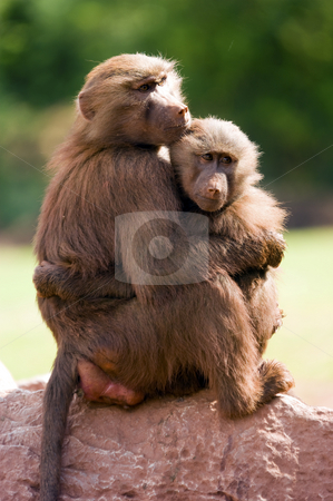 Hamadryas Baboon stock photo, Close up of a Hamadryas Baboon (Papio hamadryas) by Stephen Meese