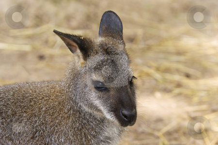 Red-necked Wallaby stock photo, Closeup of Red-necked Wallaby (Macropus rufogriseus) by Stephen Meese