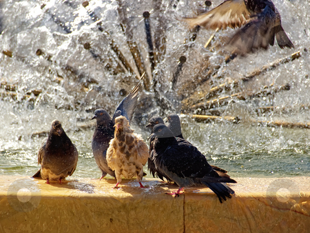 Pigeons gang stock photo, Head of pigeons  surrounded by his followers during swimming in a public place... by Sinisa Botas