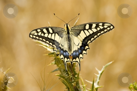 Madame butterfly stock photo, The image shows a big and beautiful butterfly. by Antonino Sicali