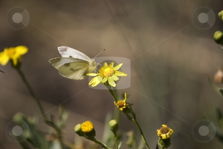 Butterfly stock photo, Image shows a butterfly above a yellow flower. by Antonino Sicali