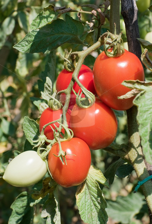 Ripe tomatoes stock photo, Ripe cherry tomotoes in a biological crop by ANTONIO SCARPI