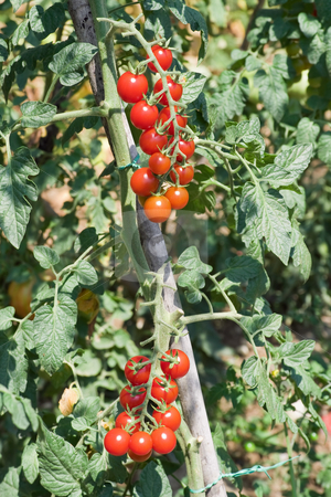 Cherry tomato  crop stock photo, Ripe cherry tomotoes in a biological crop by ANTONIO SCARPI