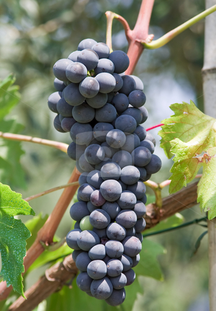 Red grape stock photo, Bunch of red grapes hanging  in a vineyard by ANTONIO SCARPI