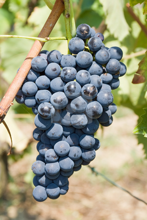 Grape stock photo, Ripe bunch of red grapes in a vineyard by ANTONIO SCARPI