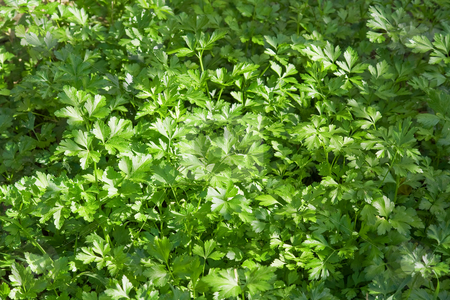 Parsley stock photo, Closeup of fresh parsley in a biological crop by ANTONIO SCARPI