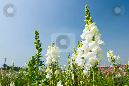 White Snapdragon flowers under blue sky stock photo, White flowers in the field under blue sky, sunny day, Snapdragon by Lawren
